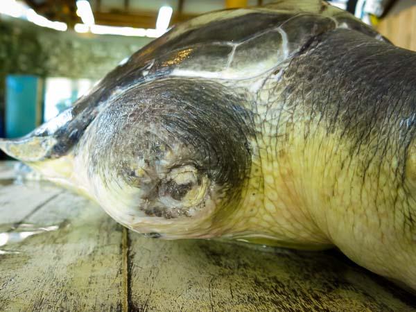 Ollie juvenile Olive Ridley turtle - amputation healed