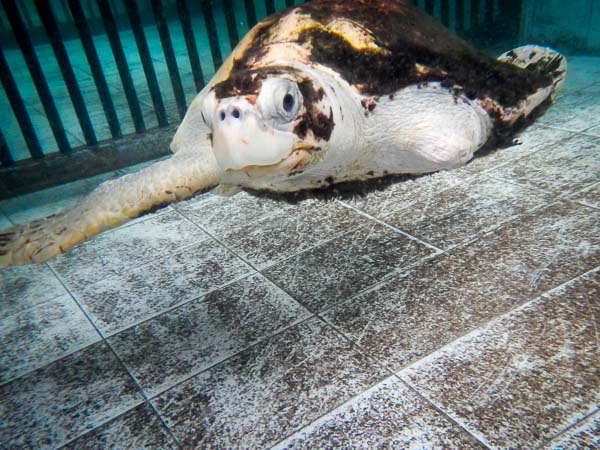 Ossy Olive Ridley turtle, recovered from floating syndrome