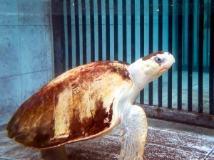 Ossy Olive Ridley turtle, recovered from floating syndrome [Marine Savers Maldives] (Ossy)