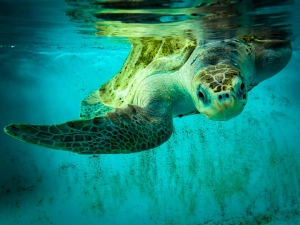 Ossy – rescue turtle – in our rehabilitation pools (Ossy)