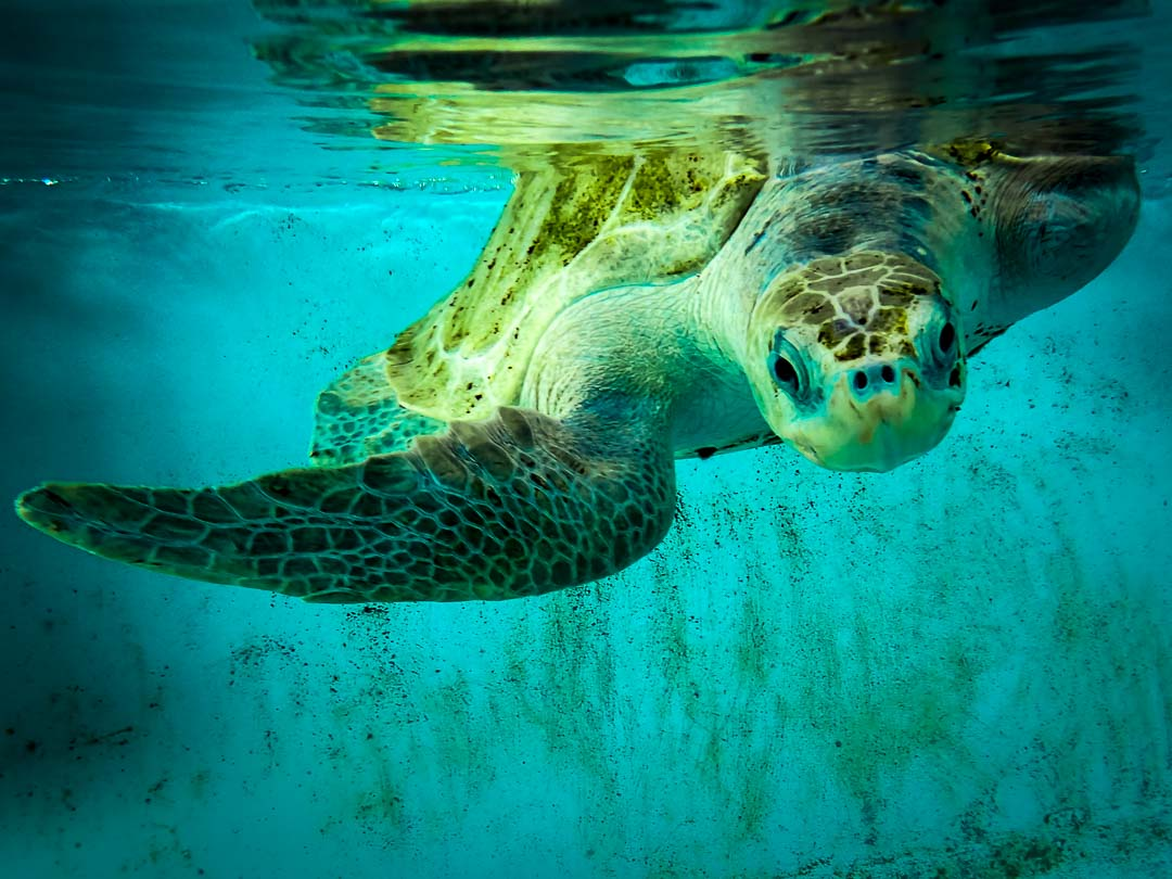 Ossy - rescue turtle - in our rehabilitation pools