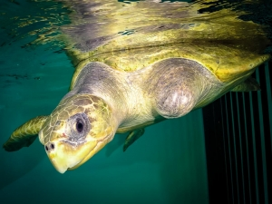 Olive Ridley Turtle rescued – Peggy (Kerry)