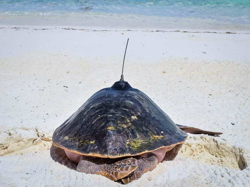 Peggy flying turtle release Marine Savers Maldives
