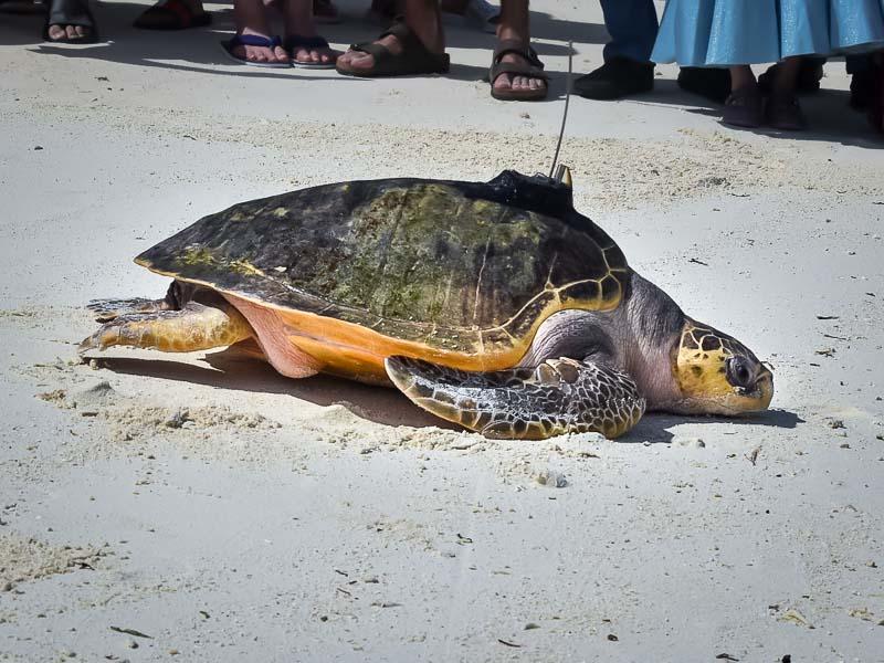 Peggy flying turtle release Marine Savers Maldives