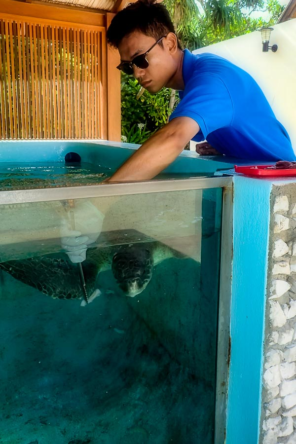 Seamarc Maldives - marine biology volunteers - turtle feeding