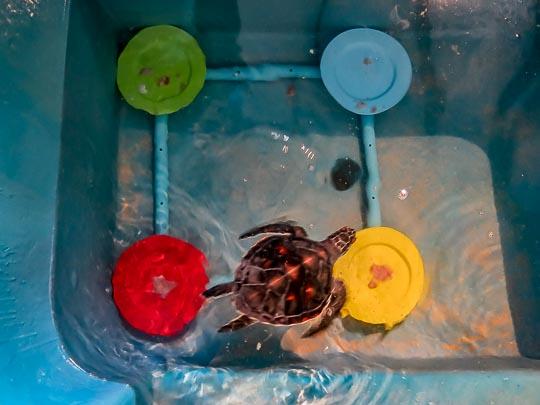 Seamarc Maldives internship – turtle trials