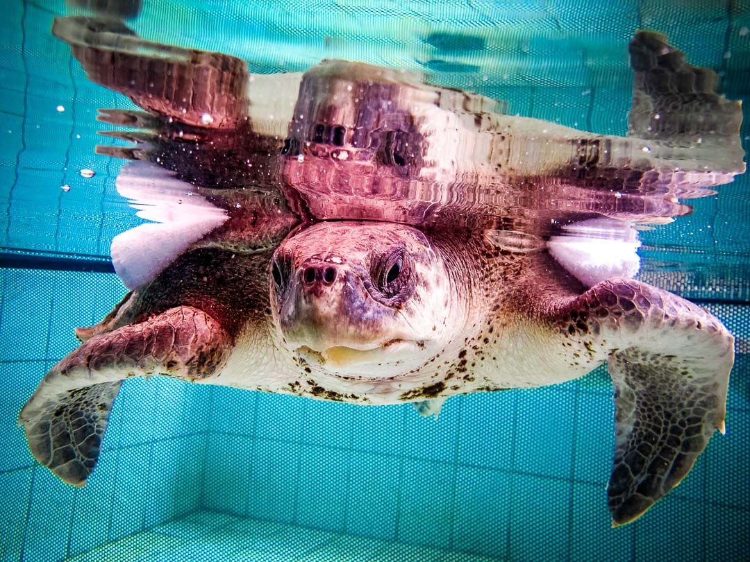 Zahiya - rescue turtle - in our recovery pools