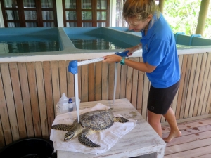 Zoe – measurements before release (Medium) (Turtle Conservation at Kuda Huraa)