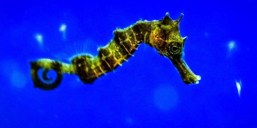 Seahorse juvenile - 10-days old