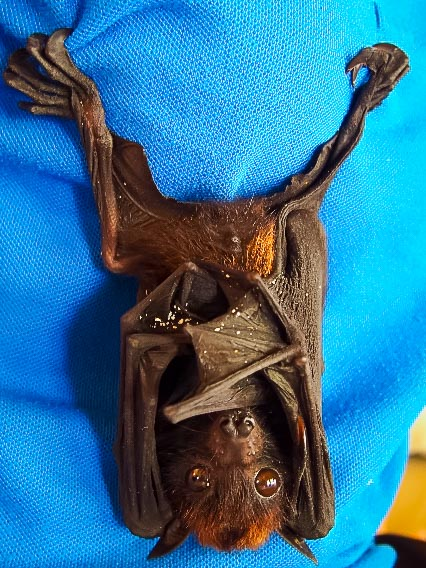 baby Fruit Bat rescued