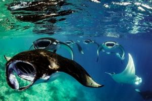 Mantas (shark symposium, Maldives) [MLG_559] 138k
