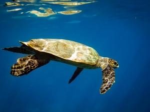 Seamarc Maldives marine biology internship – wild turtle (1433) (Sophie's Marine Biology Internship)