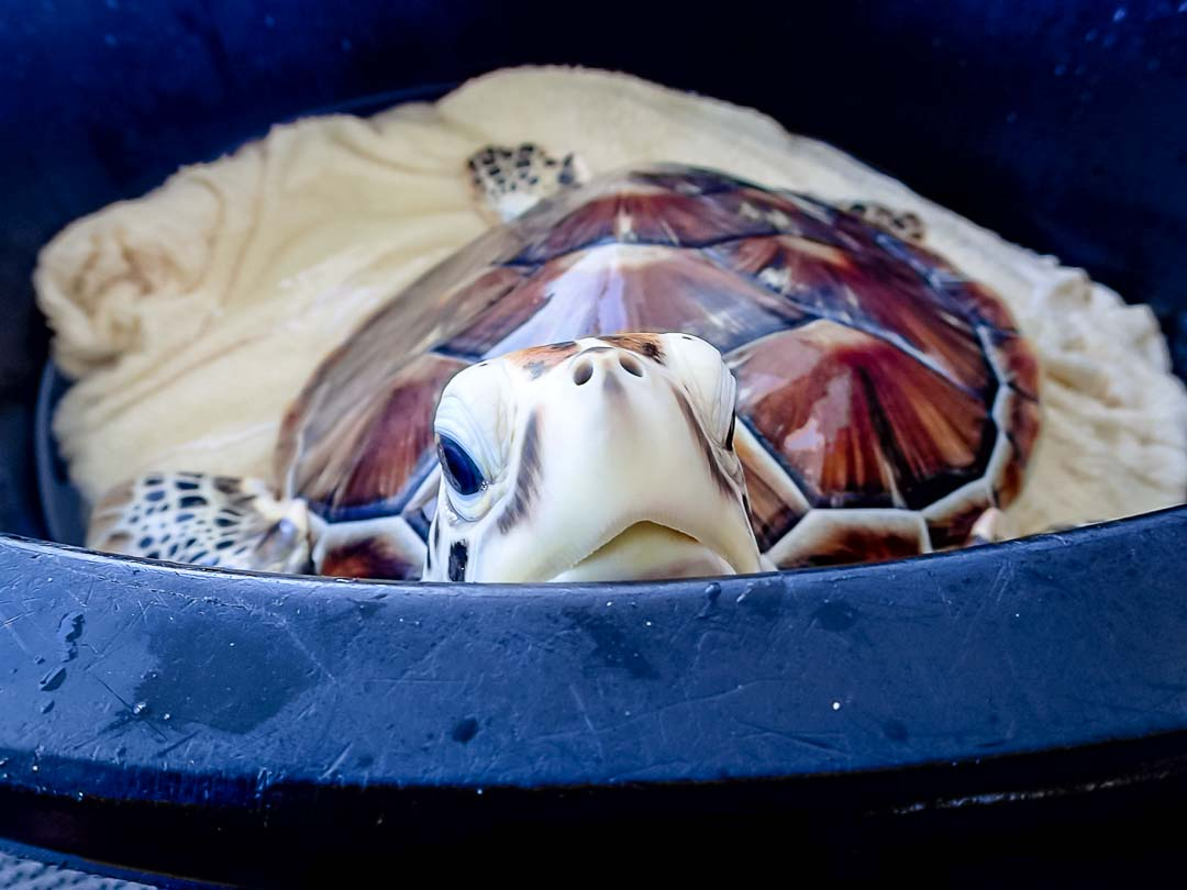 Dash saying hello during treatment sea turtle conservation Maldives Marine Savers