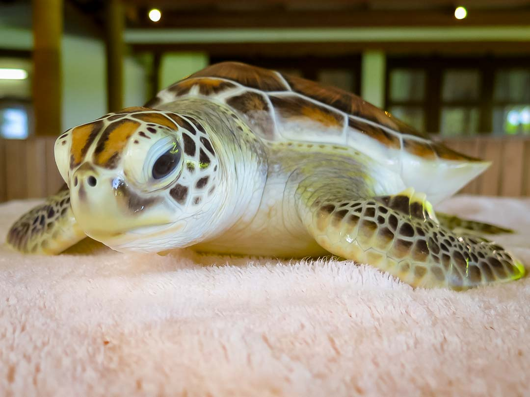 Dash sea turtle conservation Maldives Marine Savers