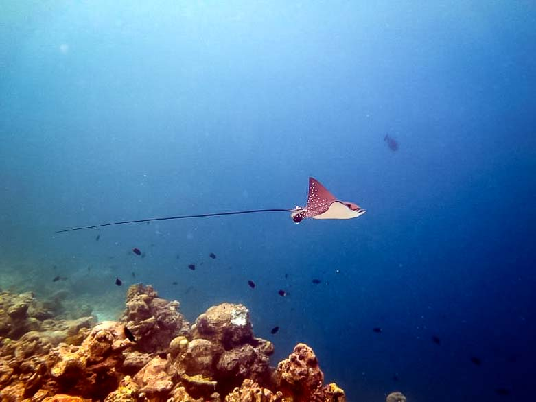 Juvenile eagle ray at Madhirivaadhoo