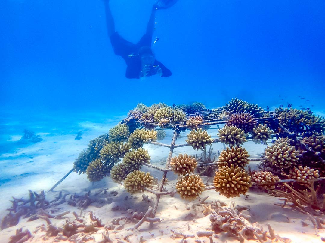 Lauren's blog - marine biology volunteer with Seamarc Maldives - Reefscapers coral frames photography