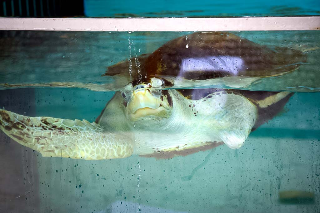 Lauren's blog - marine biology volunteer with Seamarc Maldives - turtle rehabilitation pools