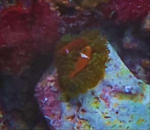 Maldivian Clownfish release into the wild (Clownfish Graduates and Marine Adventures)