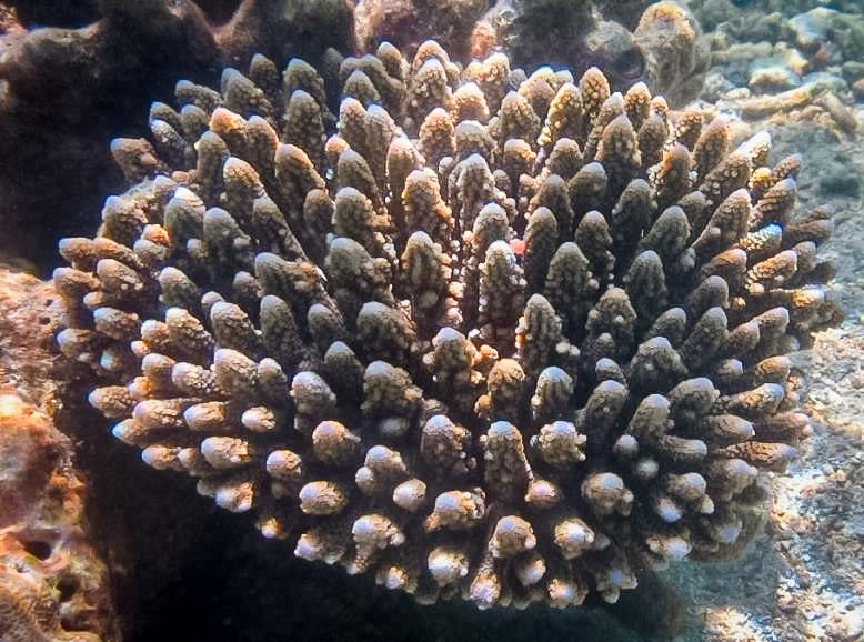 Acropora digitifera - on the reef