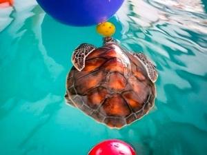 Sea Turtle rehabilitation – enrichment (Our Turtle Conservation Programmes)