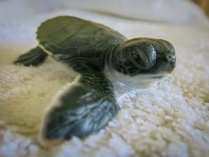 Turtle hatchling - Dash