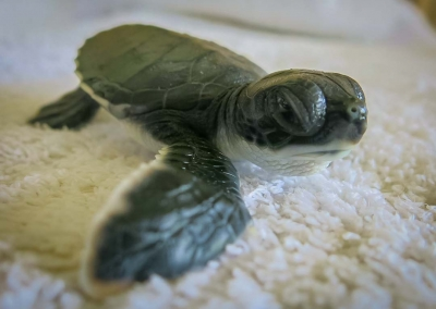 Turtle hatchling - Dash