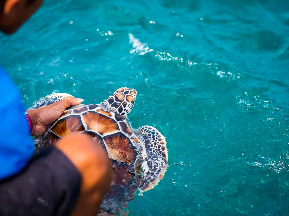 Head Start Green turtles - Daisy released