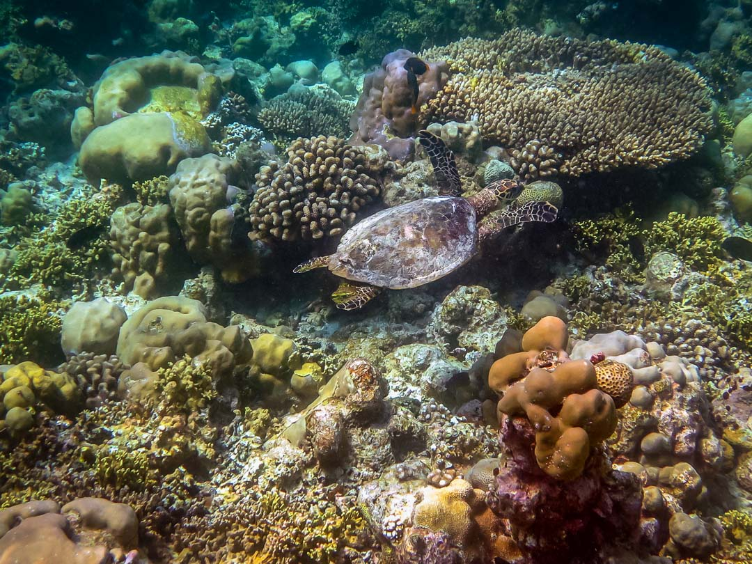 Snorkel safari - Hawksbill turtle on coral reef