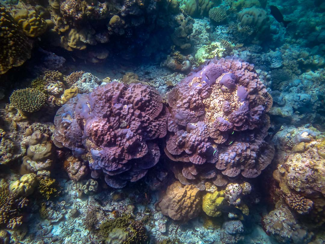 Snorkel safari - Massive coral on the reef