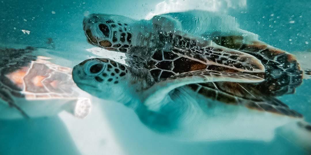 Emily's internship Marine Savers Maldives - turtle pool