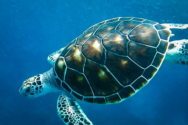 Marine Savers release Green sea turtle - Archer