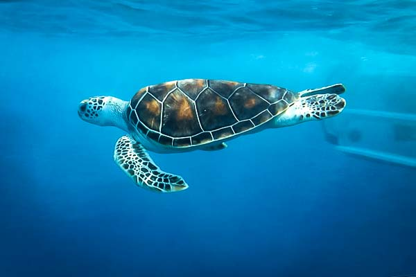 Marine Savers release Green sea turtle - Gracie