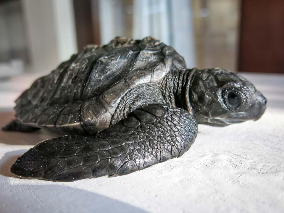 Winslow - post hatchling Olive Ridley turtle - Arrival