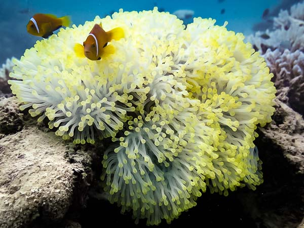 Anemone bleaching in hot waters Marine Savers Maldives