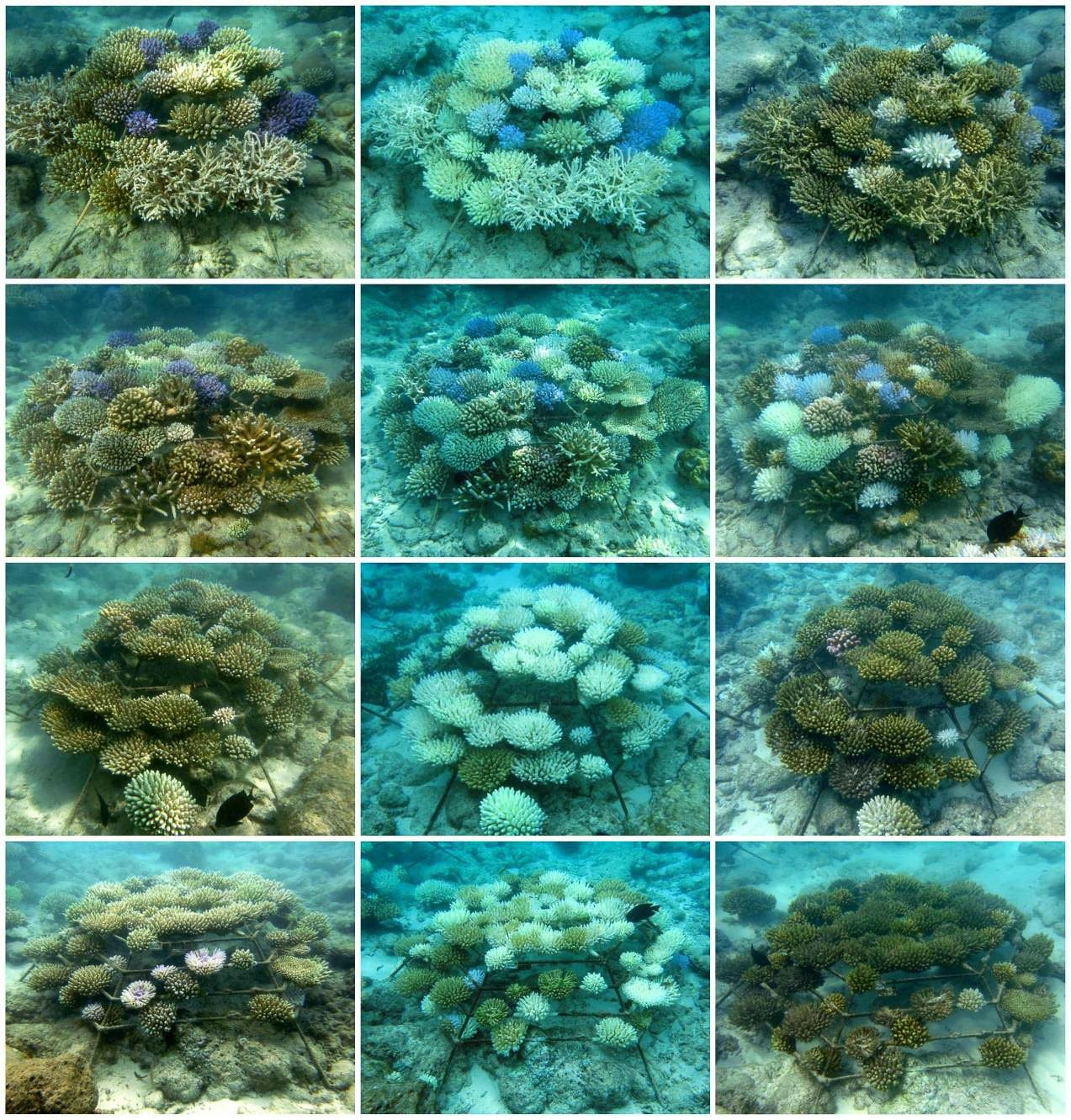 Coral Propagation: Reefscapers Maldives