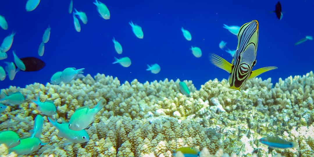 Excursions - Meyer's butterflyfish on reef, Marine Savers, Maldives