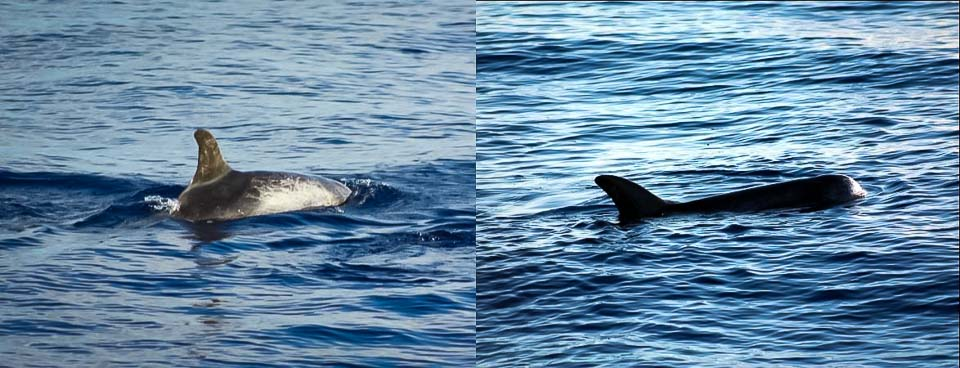 Excursions - Risso's Dolphins - Marine Savers Maldives