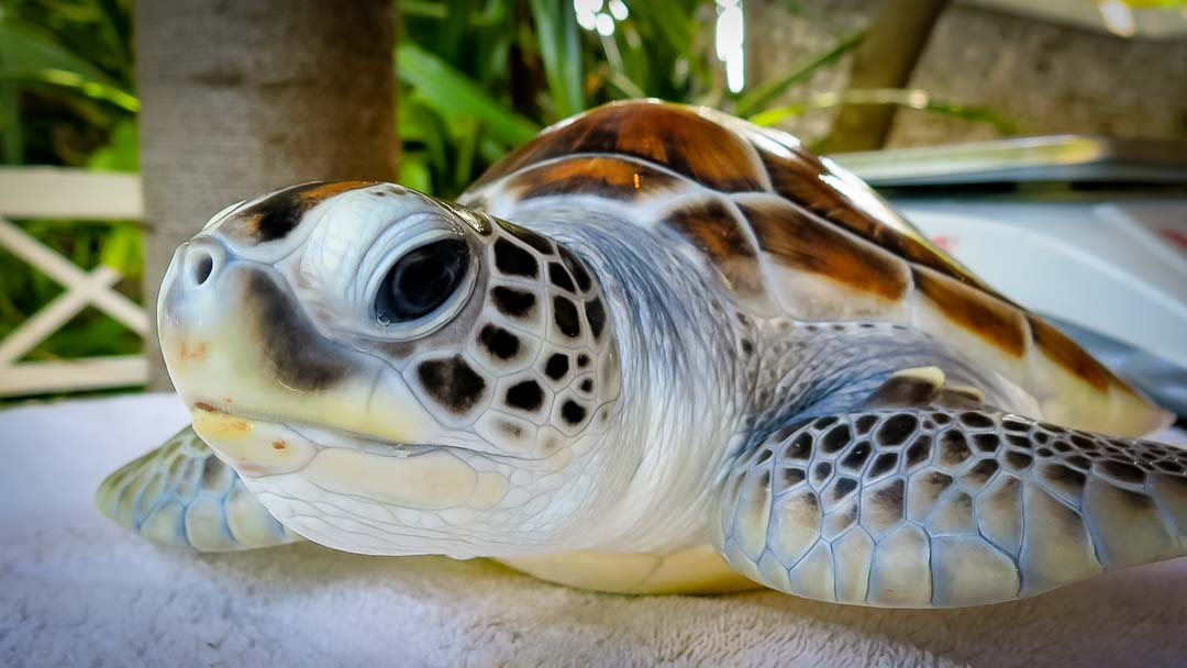Flora - head start turtle - Marine Savers Maldives