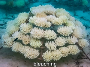 KH1030_2 bleached (02-May-16) Coral Bleaching Maldives (Coral Bleaching 2016)