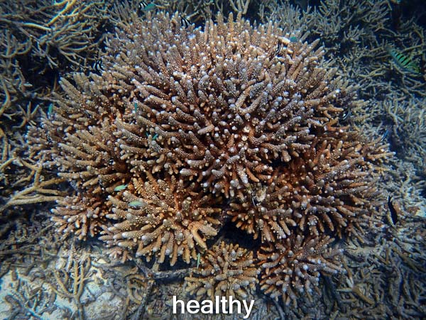 LG0557 healthy (28-Mar-16) Coral Bleaching Maldives