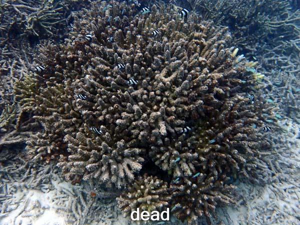 LG0557_2 Dead (25-Jun-16) Coral Bleaching Maldives