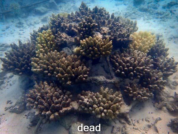 LG1016 dead (13-Jun-16) Coral Bleaching Maldives