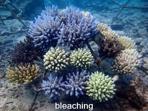 LG1320 bleached (24-Apr-16) Coral Bleaching Maldives (Coral Bleaching 2016)