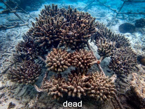 LG1320 dead (26-Jul-16) Coral Bleaching Maldives