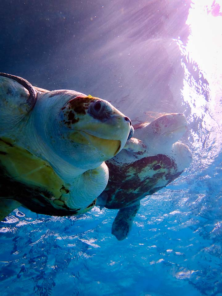 Sea Turtle Rescue Lagoon Sanctuary - Marine Savers Maldives