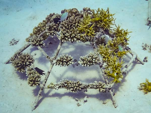 Reefscapers Coral Frame buried by sand accretion (LG2094)