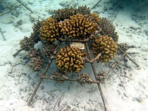 Reefscapers - healthy Pocillopora verrucosa colonies on frame KH1195, Turtle site