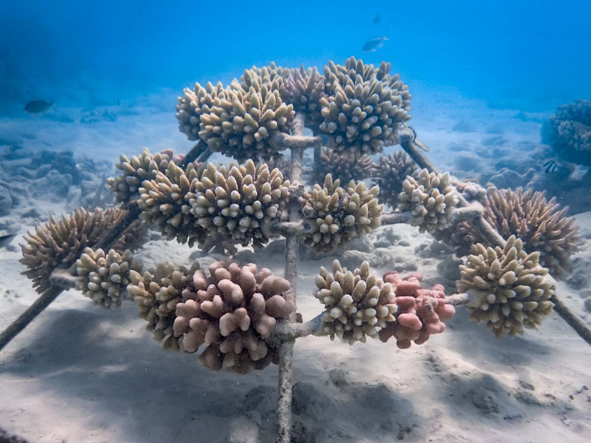 Signs of coral bleaching, Reefscapers Marine Savers Maldives
