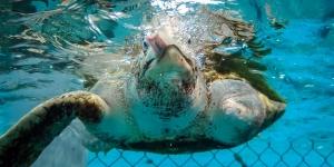 Sea Turtle Rescue Lagoon Sanctuary – Marine Savers Maldives (Marine Discovery Centres)