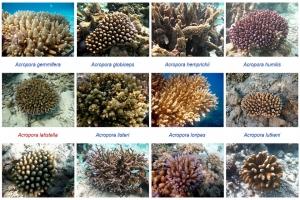 Wikipedia - Marine Life of Baa Atoll - Corals screenshot 2 (3x2)